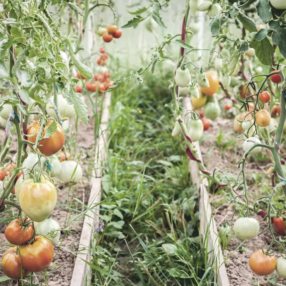 tomato plants in greenhouse for emergency food storage