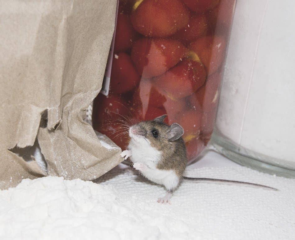 small rodent chewing through food storage in kitchen cabinet