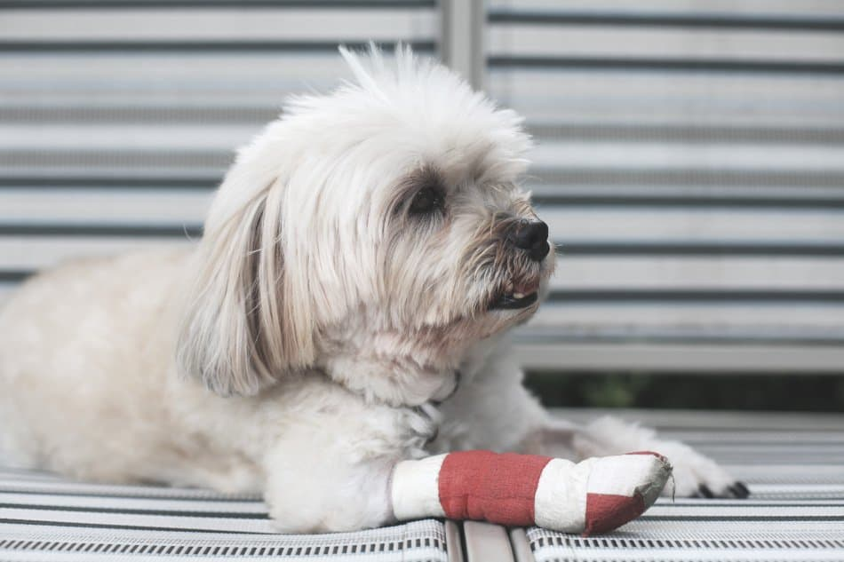 small dog lying on floor with red bandage on paw after injury