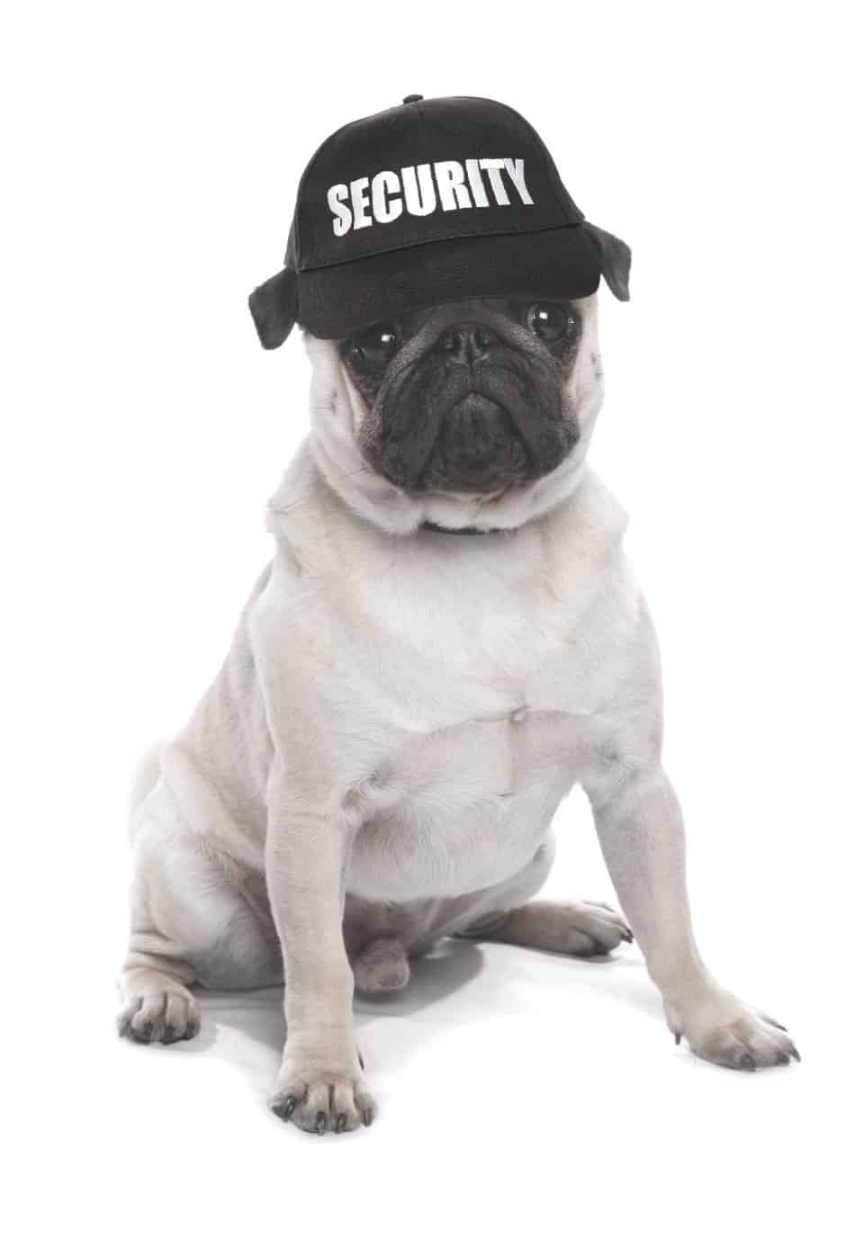security guard dog pug wearing a hat that says security