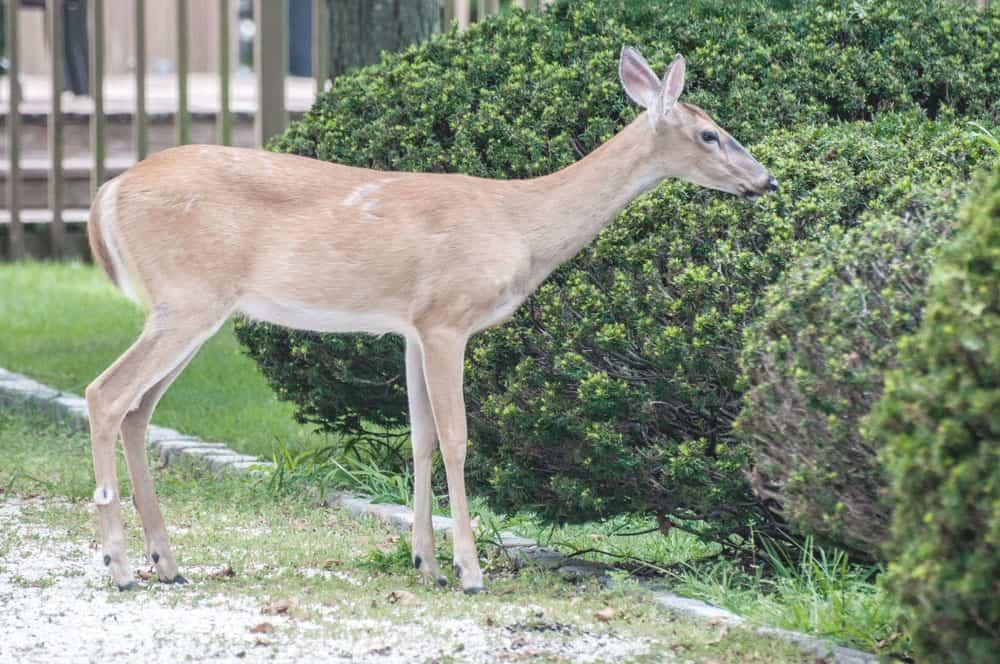deer in garden amongst shrubs